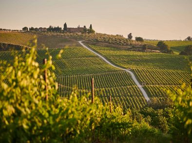 Lush vineyards of chianti.